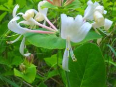 Sweet_honeysuckle_from_my_overgrown_garden